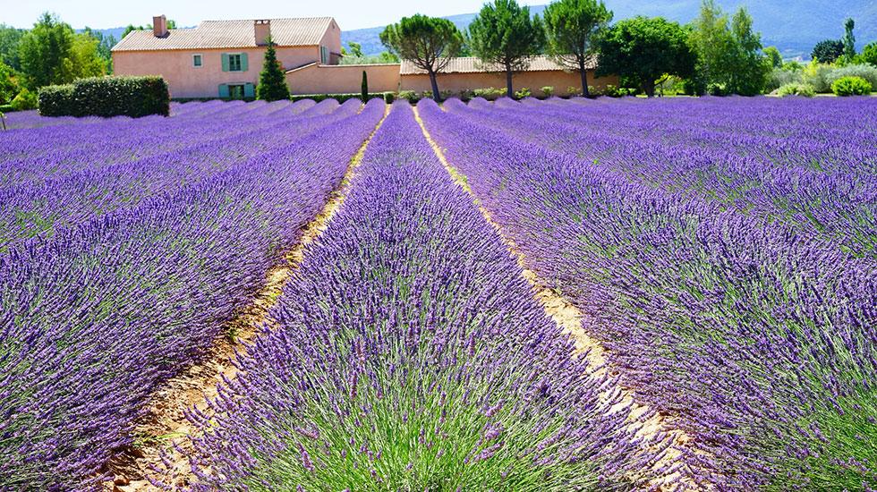 Lavender Provence - Tour Du Lịch Pháp